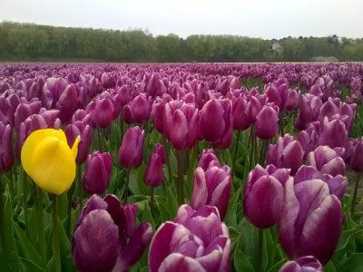 Holandia – kraina tulipanów
